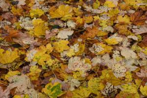 foglie biondine